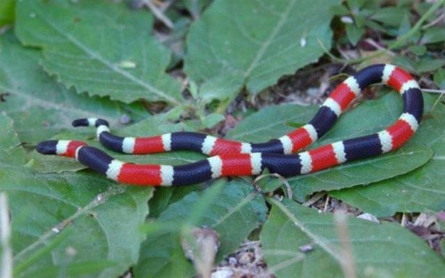 Loài rắn san hô sặc sỡ nhưng nguy hiểm