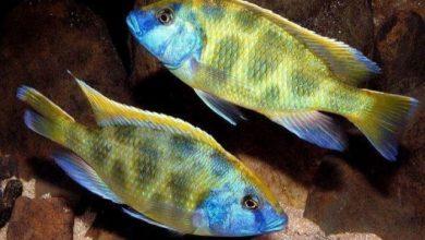 Photo of Cá Ali Venustus – Venustus Cichlid – Nimbochromis venustus