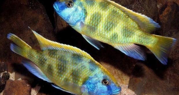 Cá ali venustus trưởng thành - Venustus cichlids