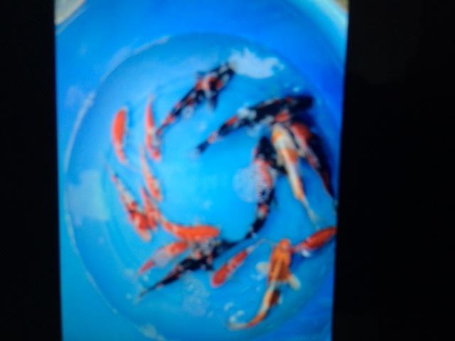Hình ảnh cá koi kích thước 20 cm