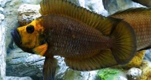 Hình ảnh cá Ali Calvus Muzi