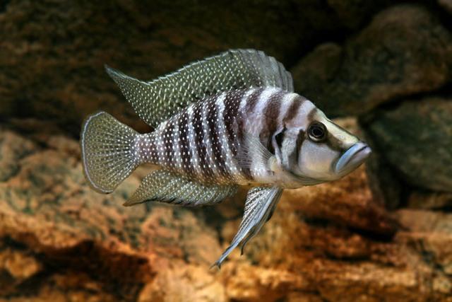 Hình ảnh cá Ali Calvus