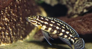 Hình ảnh cá ali Chuối Sọc