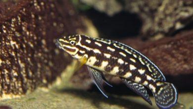 Photo of Cá cảnh nước ngọt: Cá Ali Chuối Sọc – Marlieri Cichlid – Julidochromis marlieri