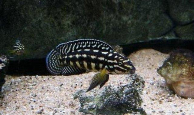 Cá Ali chuối sọc có vẻ ngoài ấn tượng