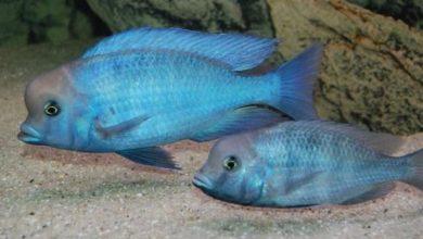 Photo of Cá cảnh nước ngọt: Cá Ali Heo Xanh – Moorei Cichlid- Dolphin Cichlid – Cyrtocara moorii