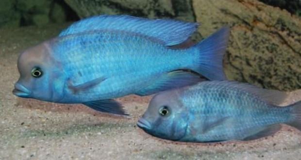 Hình ảnh cá ali Heo Xanh