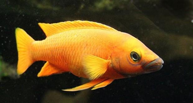 Cá ali leleupi có màu cam nổi bật