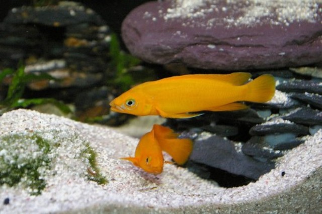Cá ali leleupi Cam nênđược nuôi thành đàn