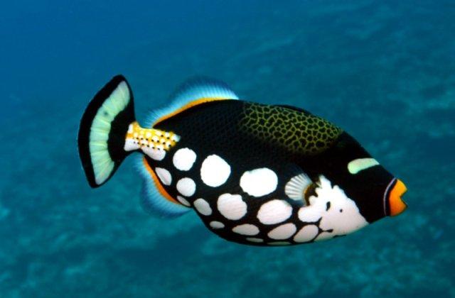 Hình ảnh cá Bò Bông Bi