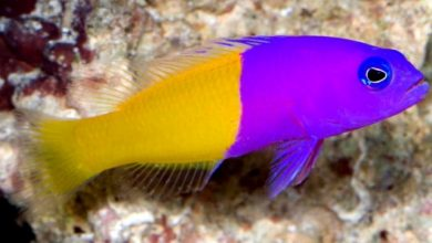 Photo of Cá Bống Hai Màu – Bicolor Dottyback- Pictichromis paccagnellae