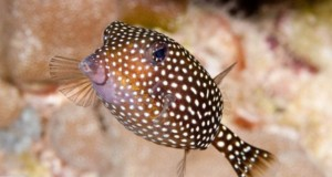 Hình ảnh cá Hộp Đốm
