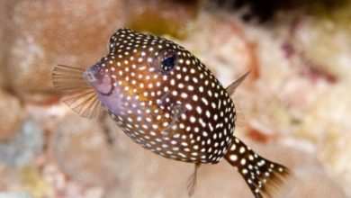 Photo of Cá Hộp Đốm – Boxfish – Ostracion Meleagris