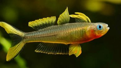 Photo of Cá Cầu Vồng New Guinea – Assorted Pseudomugil Rainbow – Pseudomugil sp.