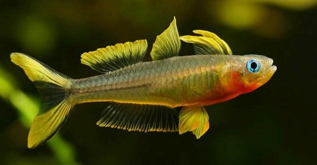 Hình ảnh cá Cầu Vồng New Guinea