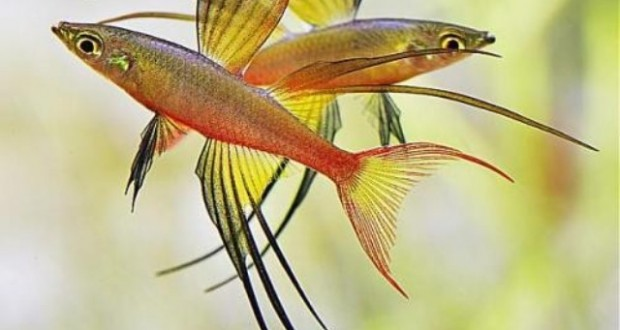 Hình ảnh cá Cầu Vồng Vây Dài