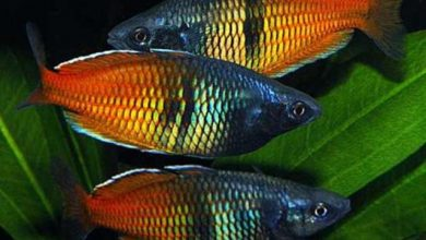 Photo of Cá Cầu Vồng Xanh- Thạch Mỹ Nhân- Boesemani Rainbow- Melanotaenia boesemani