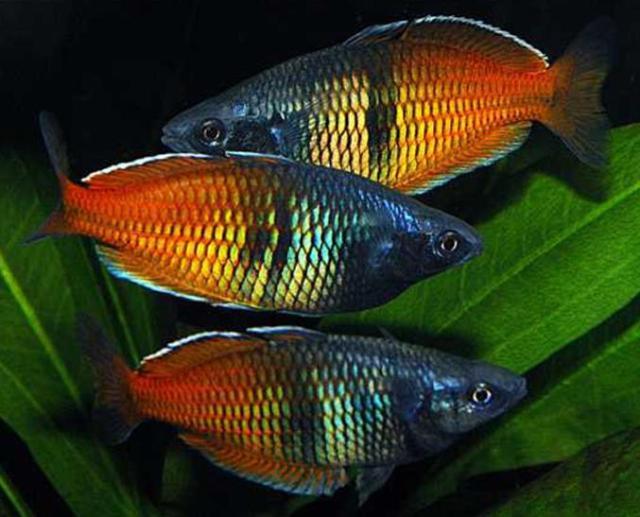 Hình ảnh cá Cầu Vồng Xanh