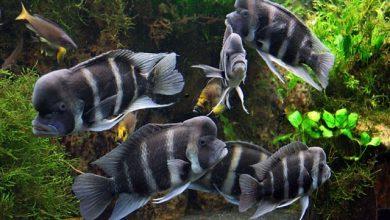 Photo of Cá Đầu Bò Burundi size 7
