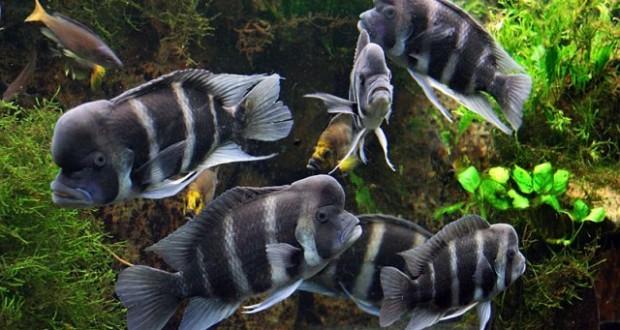 Hình ảnh cá Đầu Bò Burundi