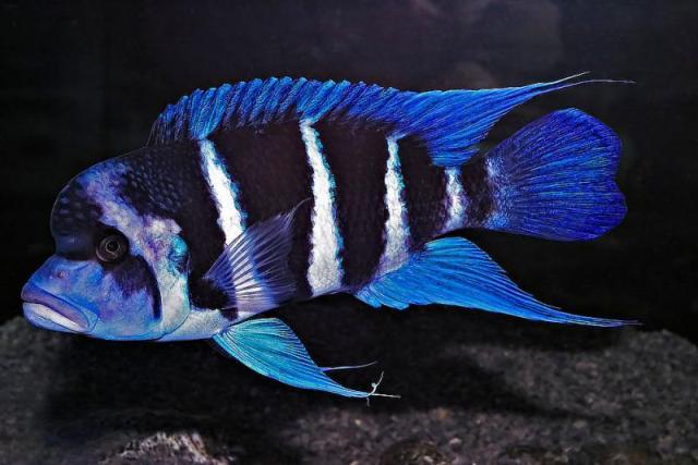 Hình ảnh cá Đầu Bò Blue Zaire
