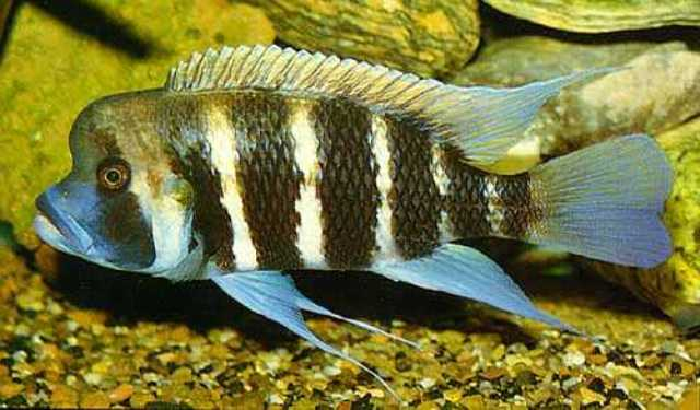 Hình ảnh cá đầu bò Kavala