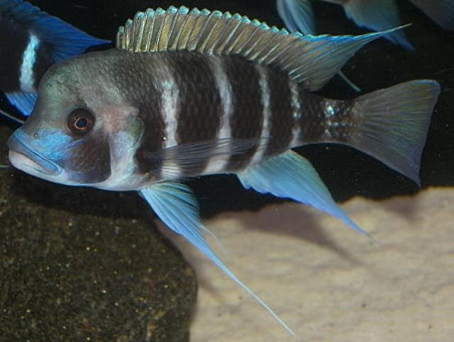 Hình ảnh cá Đầu Bò Kigoma