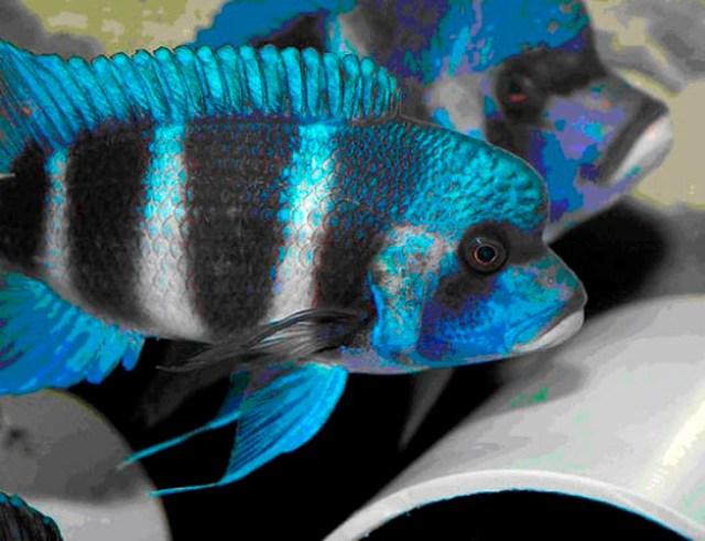 Hình ảnh của cá Đầu Bò kipili