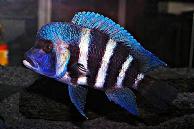 Hình ảnh cá Đầu Bò Samazi