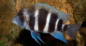 Hình ảnh Cá Đầu Bò Ibaka lai giữa Burundi và Blue Zaire