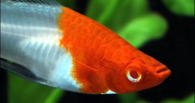 Hình ảnh cá Kiếm Koi