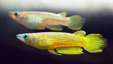 Photo of Cá Killi Vàng – Golden Dream Panchax Killifish- Pachypanchax Playfairi