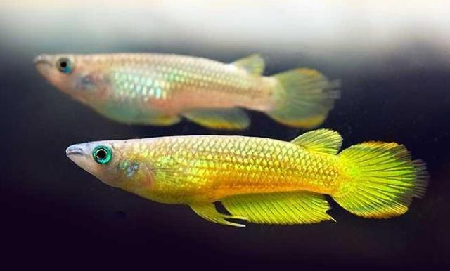 Hình ảnh cá Killi Vàng