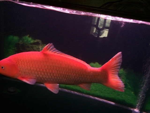 Hình ảnh cá Koi Bennigoi