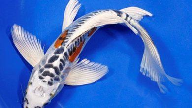 Photo of Cá cảnh nước ngọt: Cá Koi Bướm – Assorted Butterfly Koi- Cyprinus carpio
