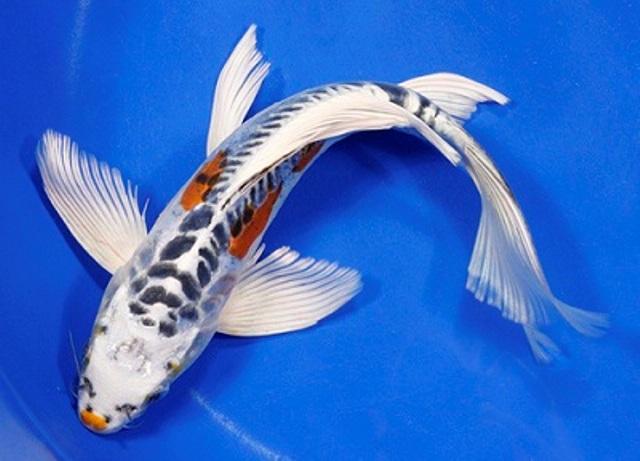Cá Koi Bướm khá được ưa chuộng