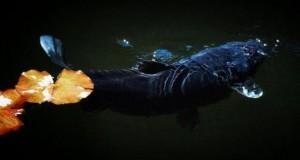 Mỗi bể cá nên có một cá Koi Đen
