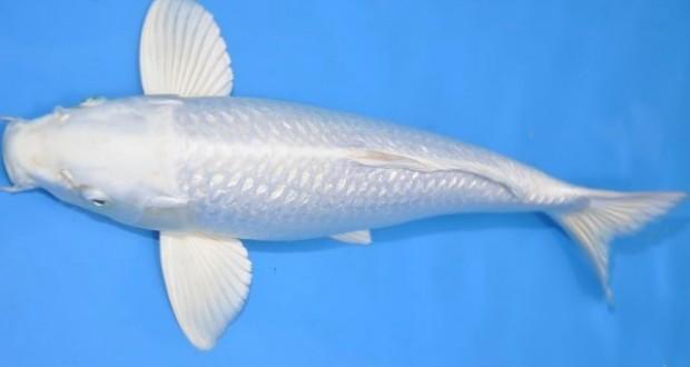 Hình ảnh cá Koi Platinum Ogon