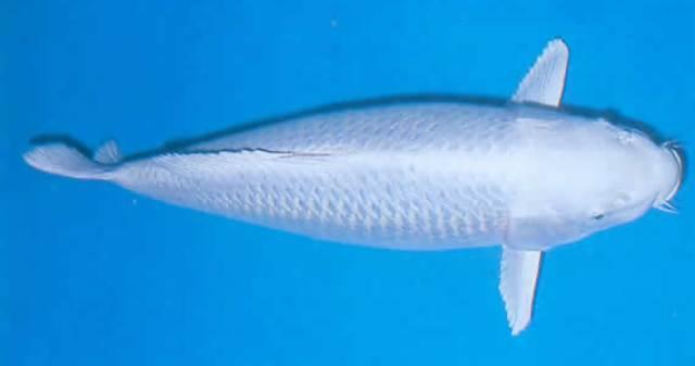 Cá Koi Ogon Platinum Ogon Nhật Bản