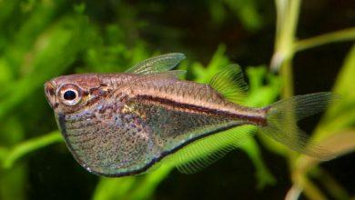 Photo of Cá Lưỡi Rìu – Marthae Silver Hatchet- Caregiella marthae