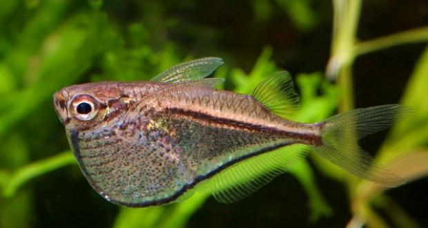 Hình ảnh của cá Lưỡi Rìu