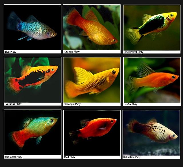 Cá Mún sinh sản tốt