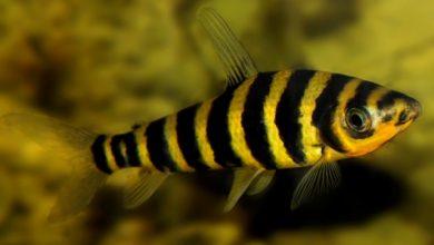Photo of Cá Ong – Banded Leporinus – Leporinus fasciatus