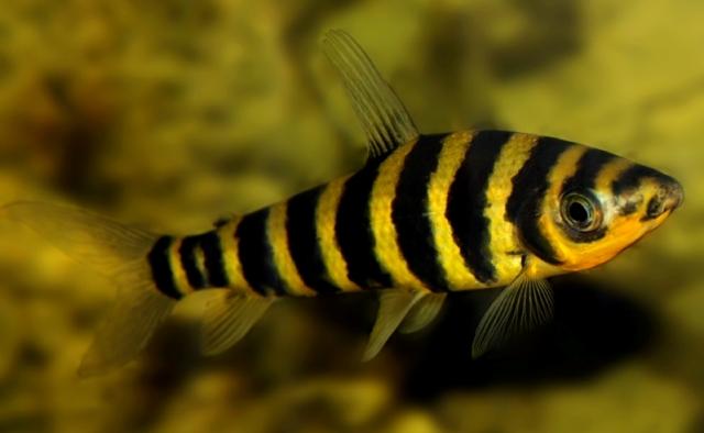 Hình ảnh của cá Ong