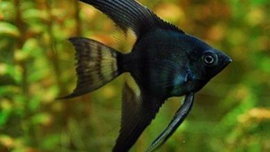 Photo of Cá Thần Tiên Đen – Black Veil Angel – Pterophyllum sp