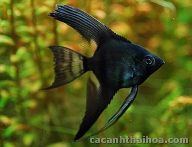 Hình ảnh cá Thần Tiên Đen
