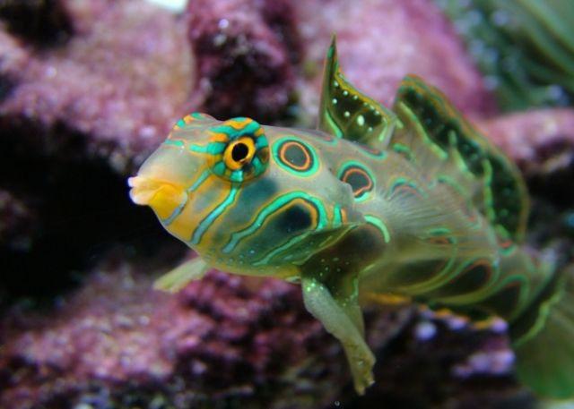 Hình ảnh cá Trạng Nguyên Hoa