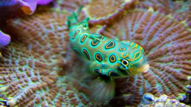 Photo of Cá Trạng Nguyên Hoa – Spotted Mandarin – Synchiropus picturatus