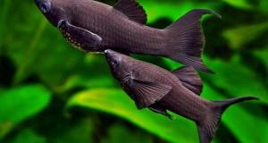 Cá Hắc Molly sinh sản tốt