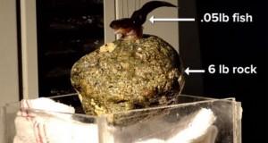 Hình ảnh cá Clingfish